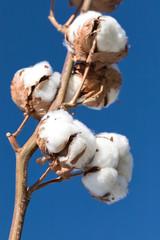 cotton branch against blue sky