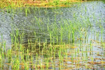 Tall Grass in Water