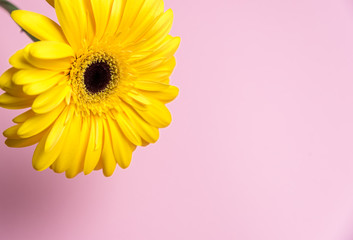 Yellow chrysanthemum flower on a pink background with place for text