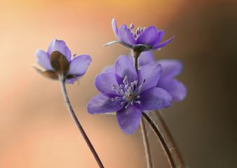 Leinwandbilder - Przylaszczka -Wiosenne kwiaty