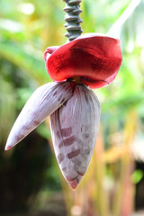 Close up of inflorescence on a banana tree