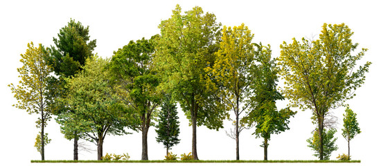 Green trees isolated on white background. Forest and foliage in summer Fotoväggar
