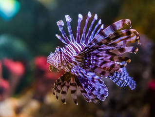closeup portrait of a common lion fish, a popular aquarium pet in aquaculture, tropical fish from the pacific ocean