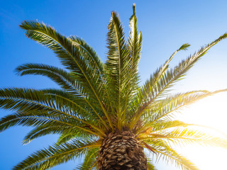 Big canopy of a palm tree with sun shining bright through it