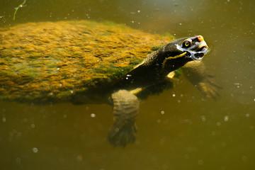 Australian freshwater turtle
