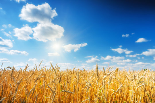 Rural landscape with golden wheat field over blue sky at sunny day.
