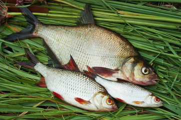 Fish bream, roach and other river fish on the grass