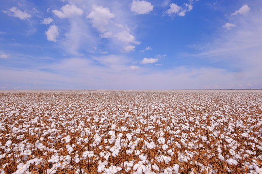 Cotton field ready for harvesting in Campo Verde, Mato Grosso, Brazil