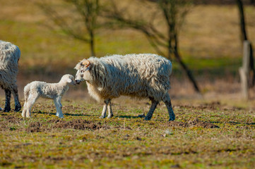 Fototapete - sheep with a newborn lamb close up