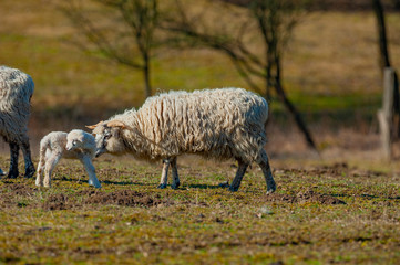Fototapete - sheep with newborn lamb on a meadow