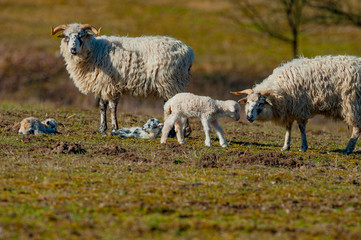 Fototapete - sheep with newborn lambs on a meadow