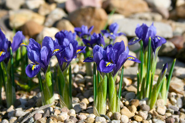 Deurstickers Iris Small spring flowers in the garden, Tiny violet blue irises on gravel flower bed, Iris reticulata or Dwarf iris, Iridaceae