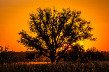 Beautiful sunset, warm summer evening on the edge of the forest are lonely trees, and the sun falls over the horizon