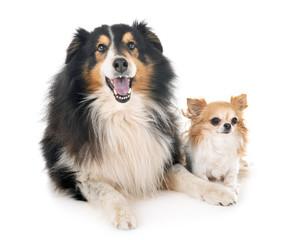 Shetland Sheepdog and chihuahua