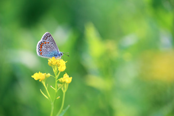 A beautiful butterfly is looking for nectar in flowers