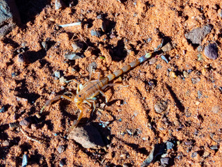 Lesser Thicktailed Scorpion (Uroplectes carinatus)