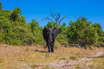 Elephant - single in Chobe National Park