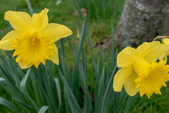Yellow daffodils in wales for St Davids day