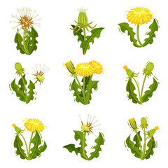 Flat vector set of dandelions. Wild herd with fluffy seeds. Summer plant with bright yellow flowers. Nature theme
