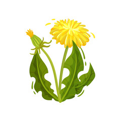 Green dandelion with yellow flower and closed head. Wild plant. Medical herd. Nature theme. Flat vector design