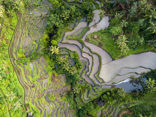 The rise terraces of Ubud in Bali, Indonesia
