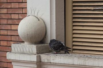 Ruffling up rock pigeon on window sill.
