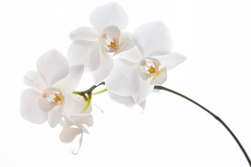 Beautiful spring tender orchid flower close up.