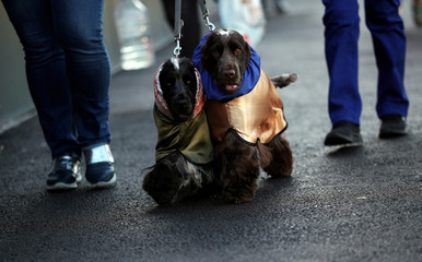 Spaniels arrive for the first day of the Crufts Dog Show in Birmingham