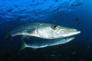 Wall Mural - Barracuda fish
