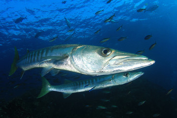 Fototapete - Barracuda fish