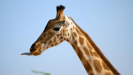 Closeup of african giraffe