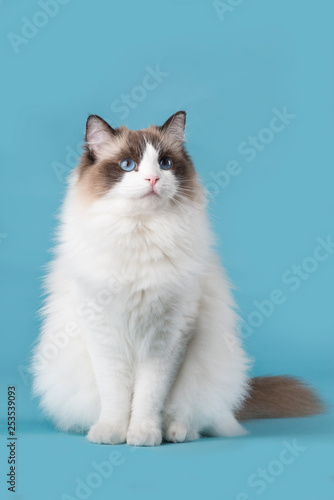 Pretty Ragdoll Cat With Blue Eyes Looking Up Sitting On A Blue