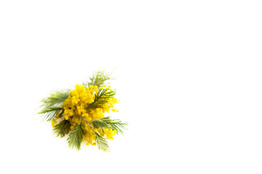 Spring still life. Yellow mimosa branch lies on a white background, isolated. silver silvergreen wattle Acacia dealbata.