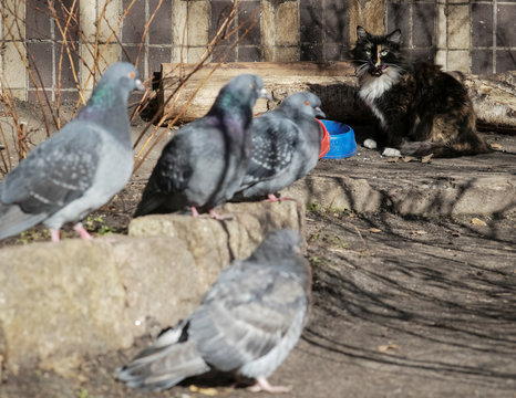 A cat looks at a group of pigeons as it eats from its bowl in the courtyard in Kiev