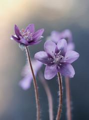 Obraz Przylaszczka - Wiosenne kwiaty - fototapety do salonu