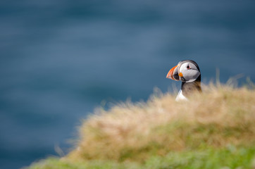 Fotoväggar - UK Wild Perched Puffin