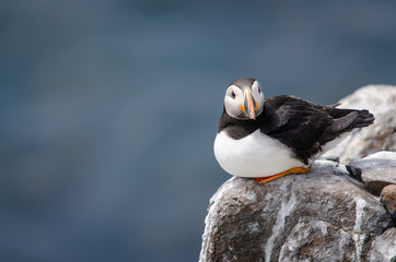 Fototapete - Perched UK Wild Puffin