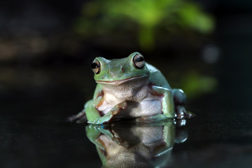 Dumpy frog reflections in water, Tree frog