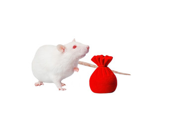 Funny cute white rat posing