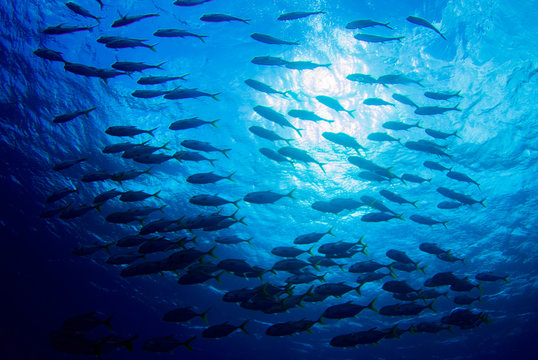 A shot of a school of fish swimming in the ocean. As the camera was angled upwards the image contains a background created by the sky. The photo was taken in the Caribbean sea from Grand Cayman