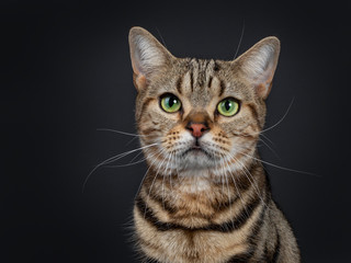 Head shot of handsome young brown tabby American Shorthair cat. Looking straight ahead with mesmerizing green eyes. Isolated on a black background.
