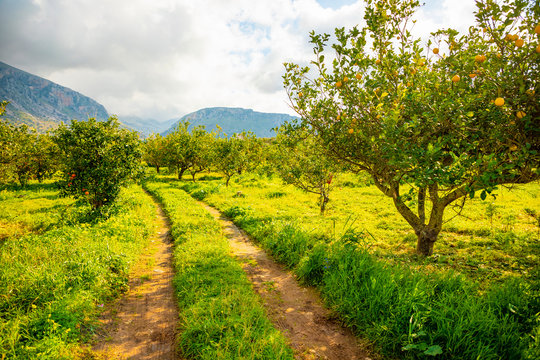 Lemon trees in a citrus grove in Sicily, Italy