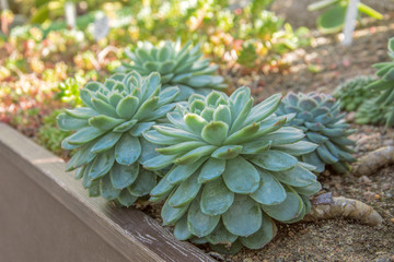 Echeveria in the soil of the greenhouse on a sunny day