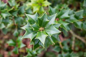 Tarajo Holly Leaves in Winter