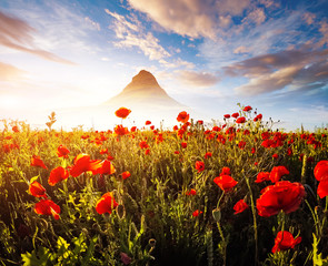 Wall Mural - Blooming red poppies on field against the sun.