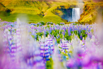 Wall Mural - Lovely lupine glowing by sunlight. Location place Skogafoss waterfall, Skoga river, Iceland.