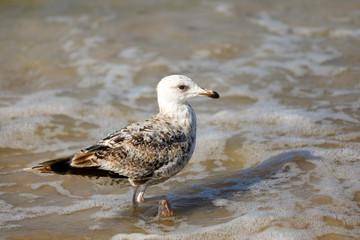 Wild bird walks in shallow water