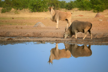 Two Eland antelopes,Taurotragus oryx, on the rim of waterhole, reflecting itself in blue water surface. Largest and heaviest antelope in Africa, animals of arid Etosha national park, Namibia.