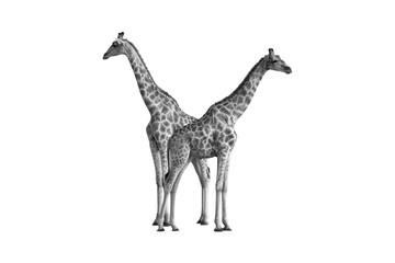 Artistic, black and white photo of two wild Angolan giraffes, Giraffa giraffa angolensis, also known as Namibian giraffe, standing heads apart next to waterhole. Safari in Etosha. Wildlife, Namibia.