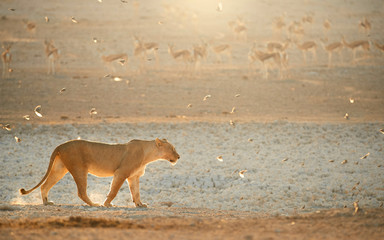 Lioness in beautiful light against herd of springboks in the background. Backlighted Lioness among flock of birds near to waterhole. Hot day on safari in Etosha. Wildlife photography, Namibia.